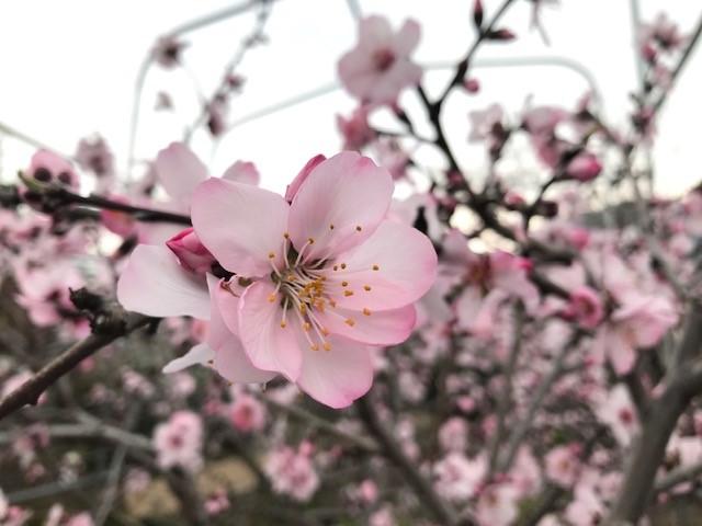 サクラ(類)の開花